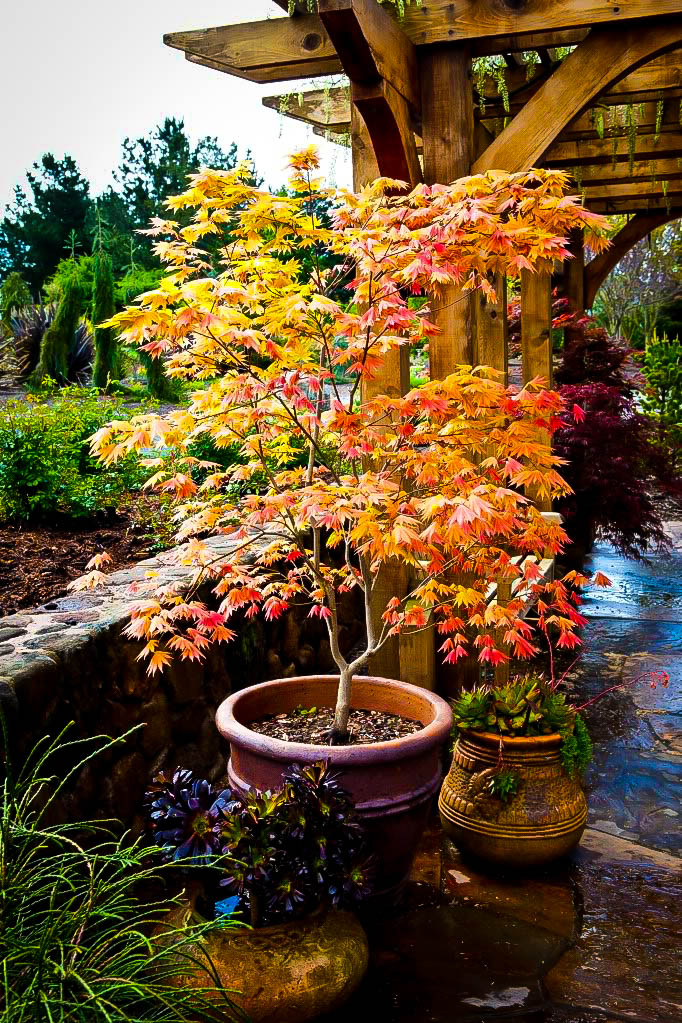 Buy Autumn Moon Japanese Maple For Sale The Tree Center