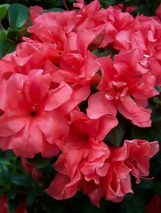 Autumn Princess Encore Azalea