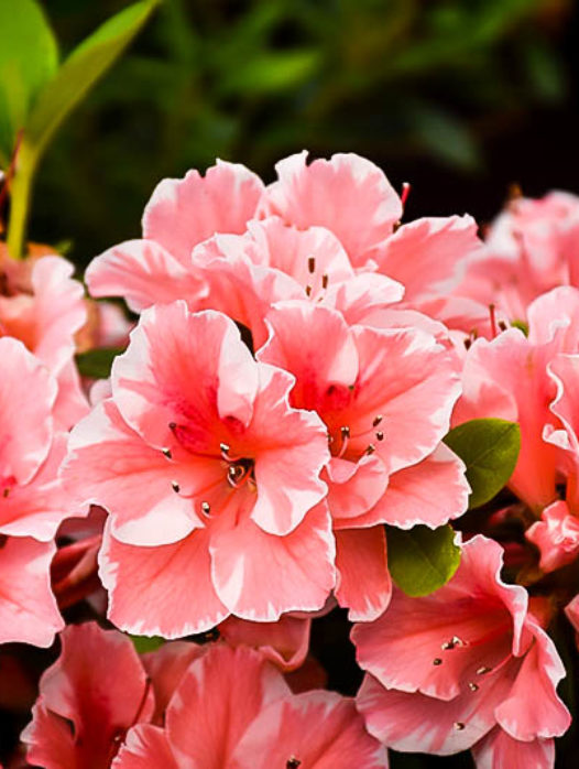 Autumn Sunburst Encore Azalea