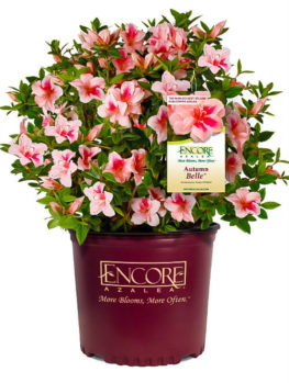 Autumn Belle™ Encore® Azalea