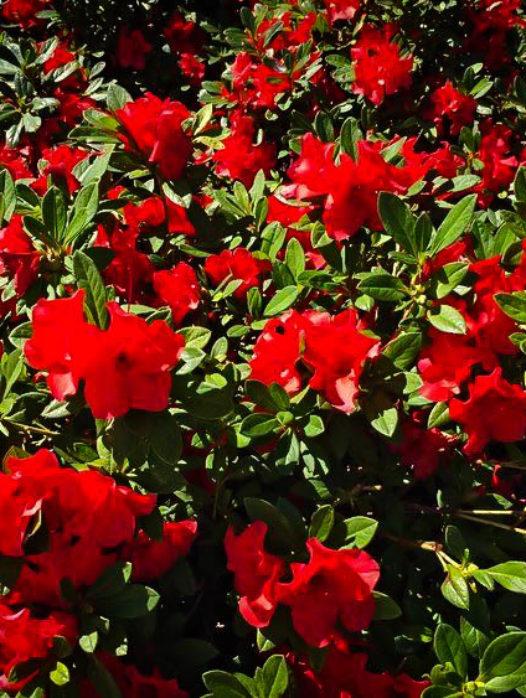 Autumn Bravo Encore Azalea