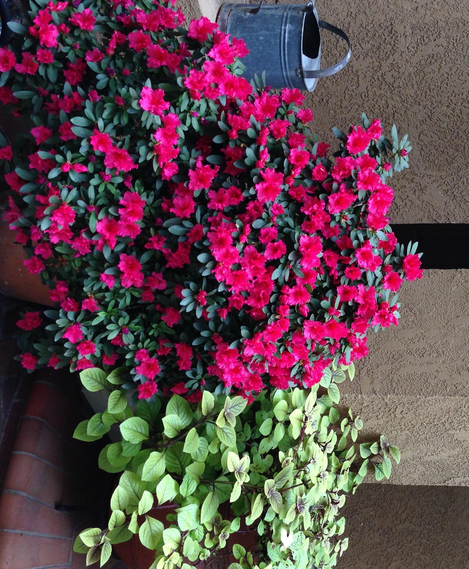 Growing Encore Azaleas In Pots The Tree Center