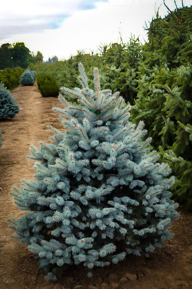 Baby Blue Eyes Spruce Trees For Sale Online The Tree Center