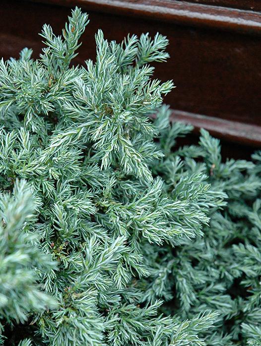Baby Blue Sawara Cypress