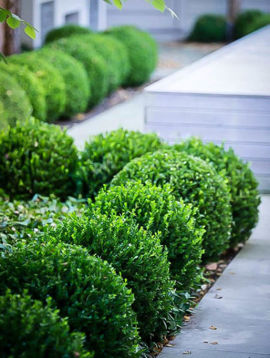 Baby Gem Boxwood