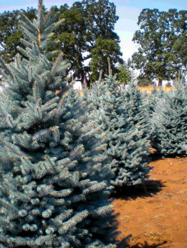 Baker's Blue Colorado Spruce
