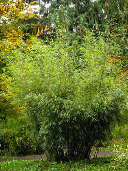 Bamboo Trees For Sale | Buy Bamboo Plants Online | The Tree