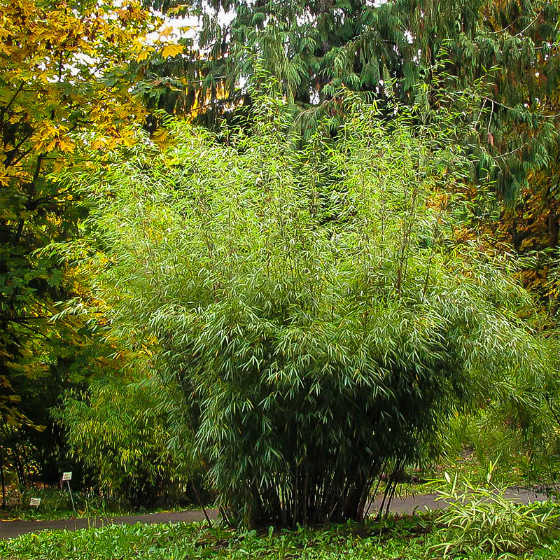 Hardy Clumping Bamboo For Sale Online The Tree Center