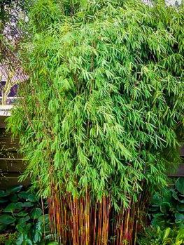 Hardy Clumping Bamboo