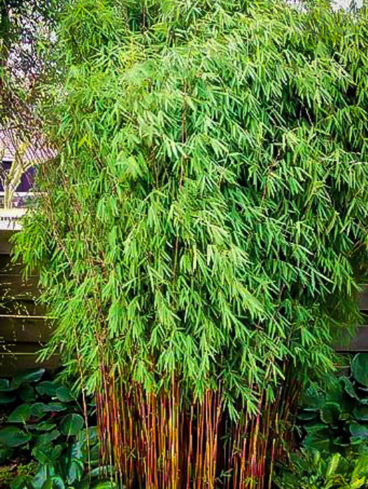 Hardy Clumping Bamboo