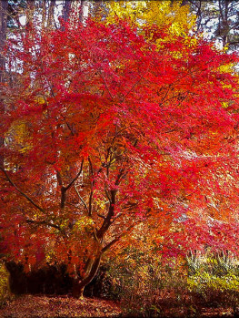 Emperor Japanese Maple For Sale Online The Tree Center