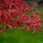 Beni Komachi Japanese Maple Leaves