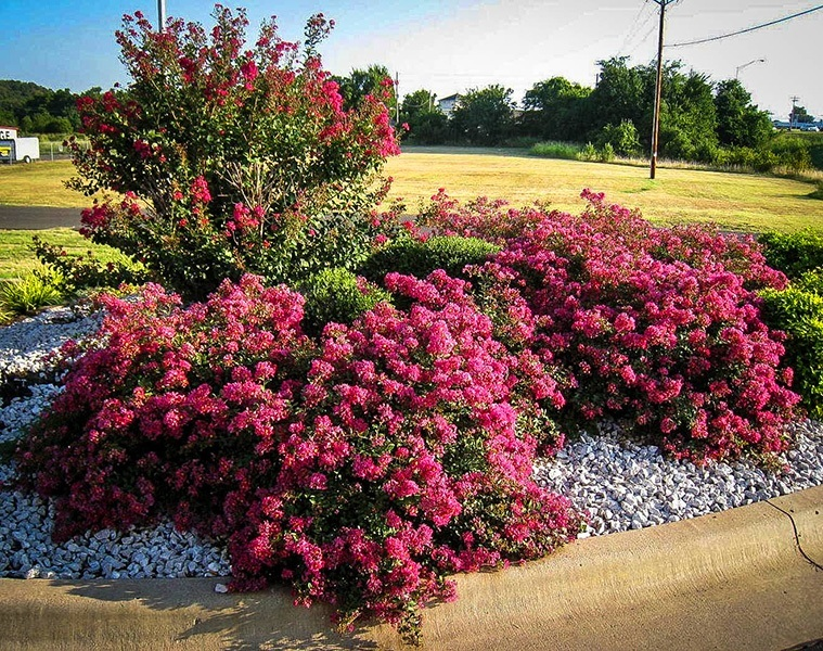 Berry Dazzle Crape Myrtles For Sale The Tree Center