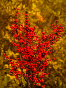 Buy Holly Trees Holly Bushes Amp Trees For Sale The Tree
