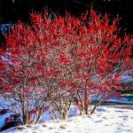 Berry Heavy Winterberry Holly