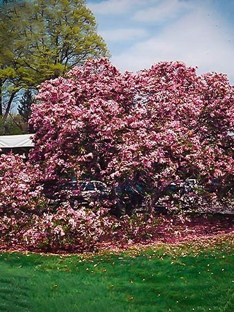 Fully Grown Betty Magnolia Tree