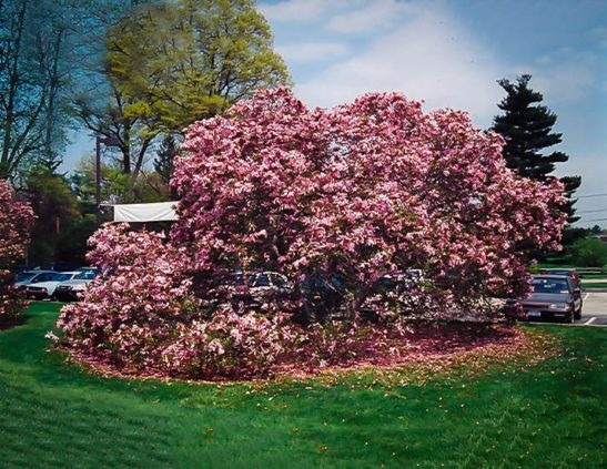 Fully Grown Betty Magnolia Tree