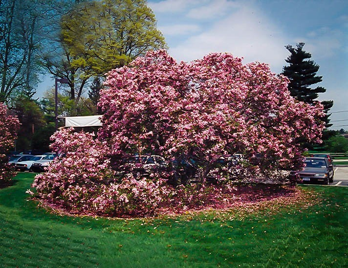 Betty Hybrid Magnolia For Sale The Tree Center