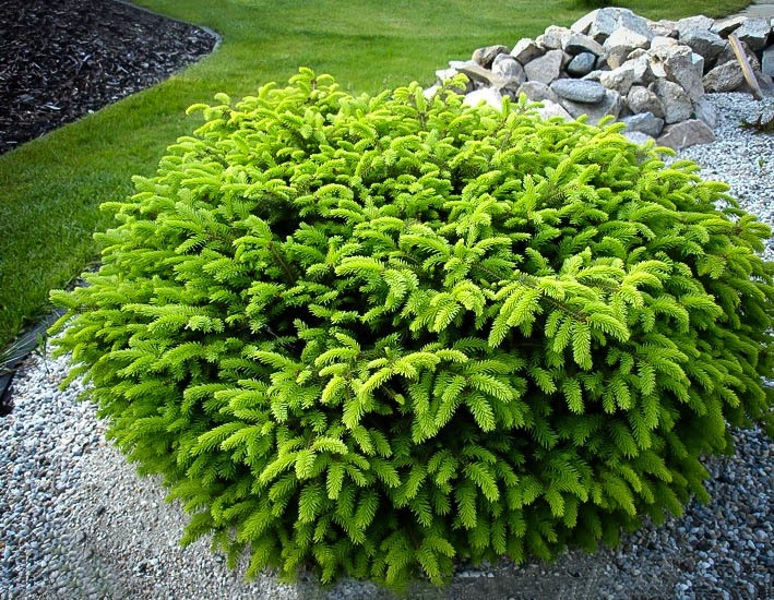 Bird S Nest Spruce For Sale The Tree Center
