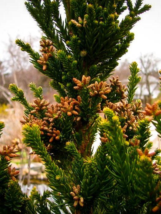 Black Dragon Cryptomeria Japanese Cedar