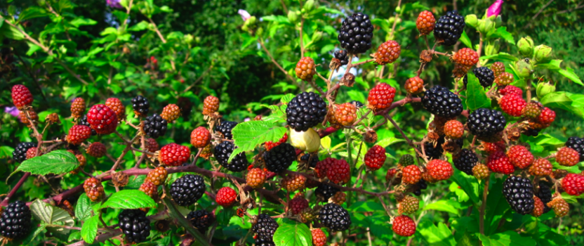 How to Grow Berry Bushes – What Ones Should I Grow?