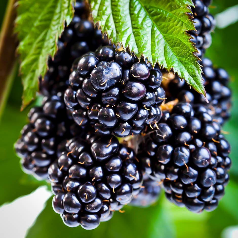 Ouachita Thornless Blackberry Bushes For Sale The Tree