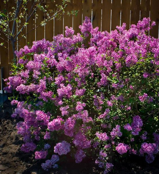 Bloomerang Purple Lilac
