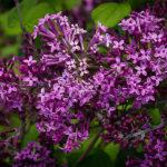 Bloomerang Purple Lilac Flowers
