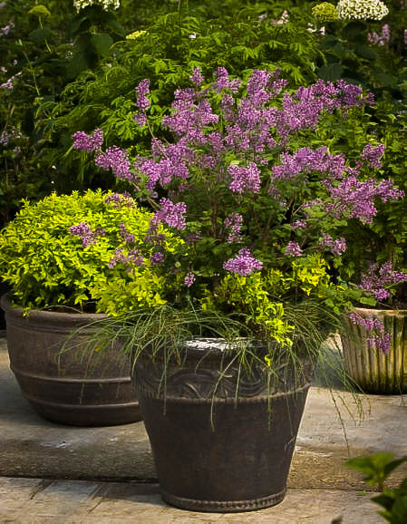 Bloomerang Purple Lilac For Sale Online The Tree Center