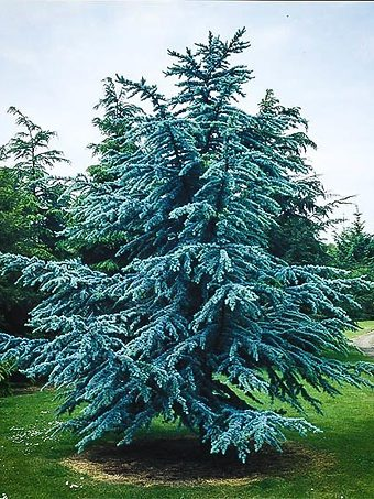 Blue Atlas Cedar Tree