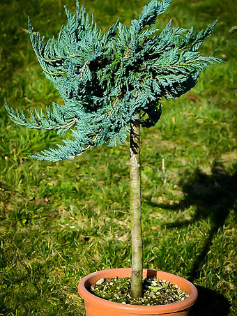 Blue Chip Juniper Tree