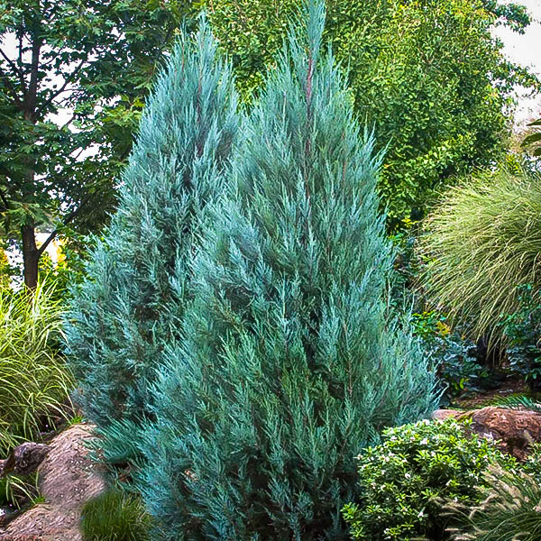 Blue Point Juniper Trees For Sale The Tree Center