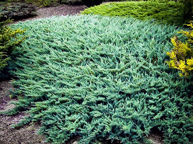 Blue Rug Juniper Ground Cover Plants