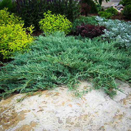 Blue Rug Juniper Ground Cover Plants