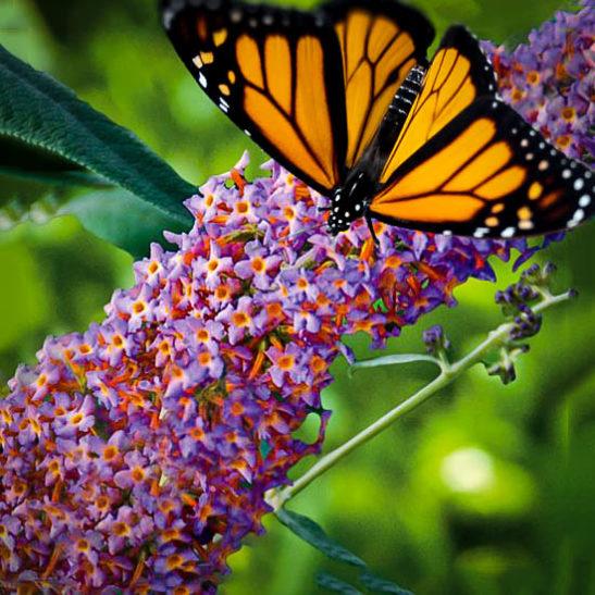 Blueberry Cobbler Butterfly Bush