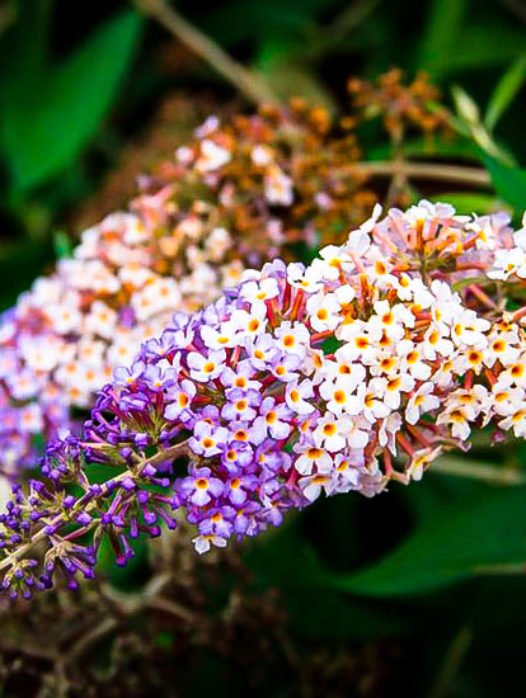 Buddleia Blueberry Cobbler Butterfly Bush