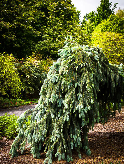 The Blues Weeping Colorado Spruce
