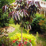 Bonfire Patio Peach Tree For Sale Online The Tree Center