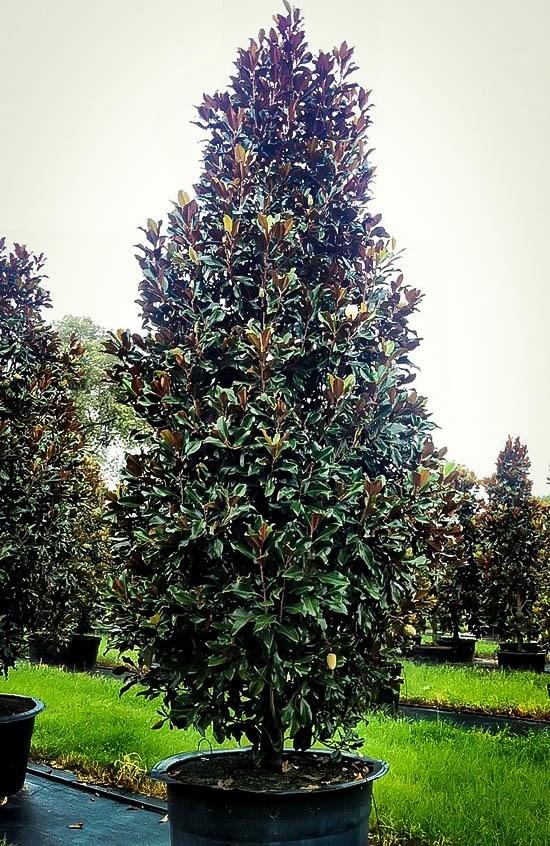 Brown Beauty Magnolia