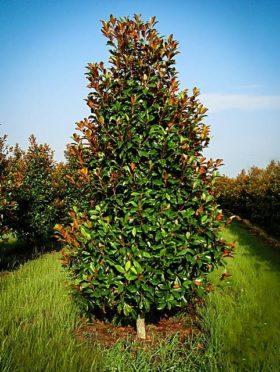 Brackens Brown Beauty Magnolia