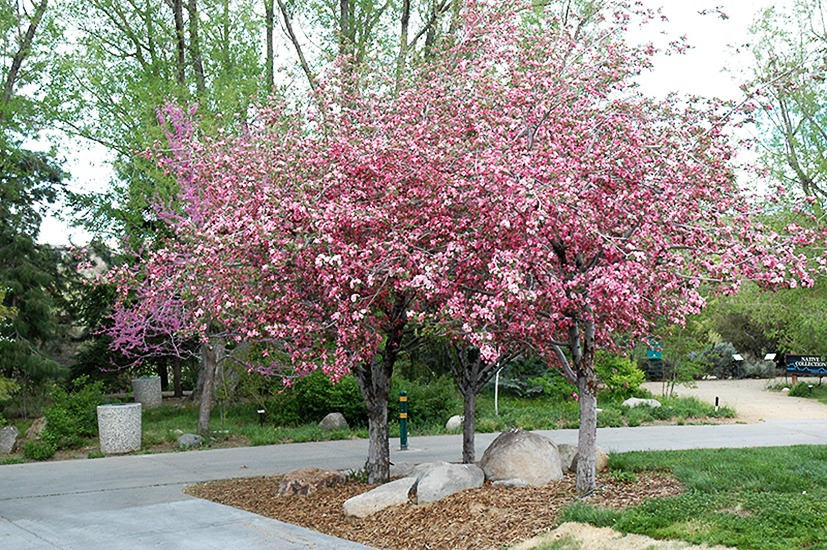 Brandywine Crab Apple Trees For Sale Online The Tree Center