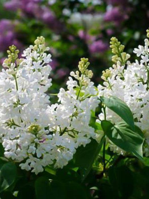 Bridal Memories Lilac