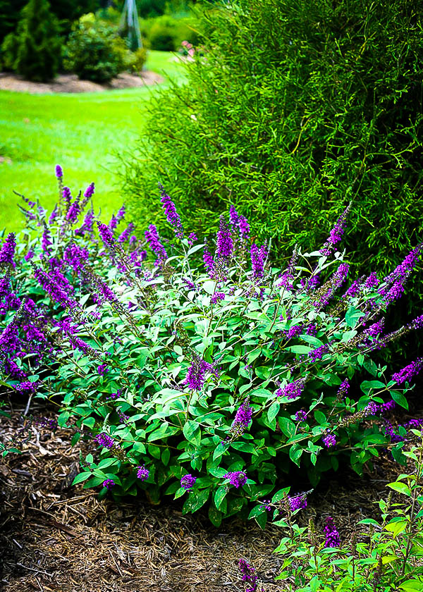 Lo Amp Behold Blue Chip Jr Butterfly Bush The Tree Center