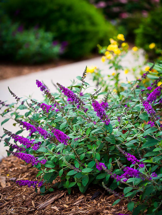 LO & BEHOLD® Blue Chip Jr. Butterfly Bush