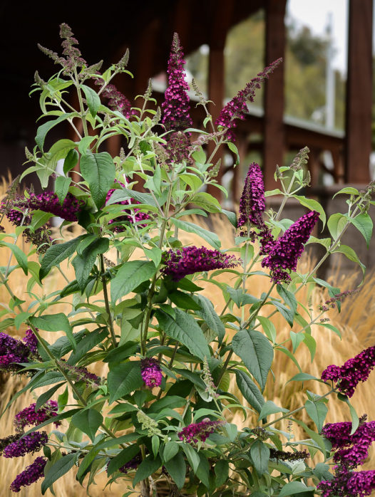 Cranrazz Butterfly Bush