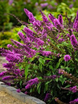 Flutterby Petite® Tutti Fruitti Pink Butterfly Bush