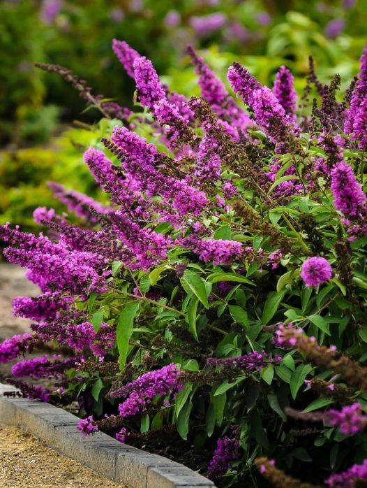 Flutterby Petite Tutti Fruitti Pink Butterfly Bush