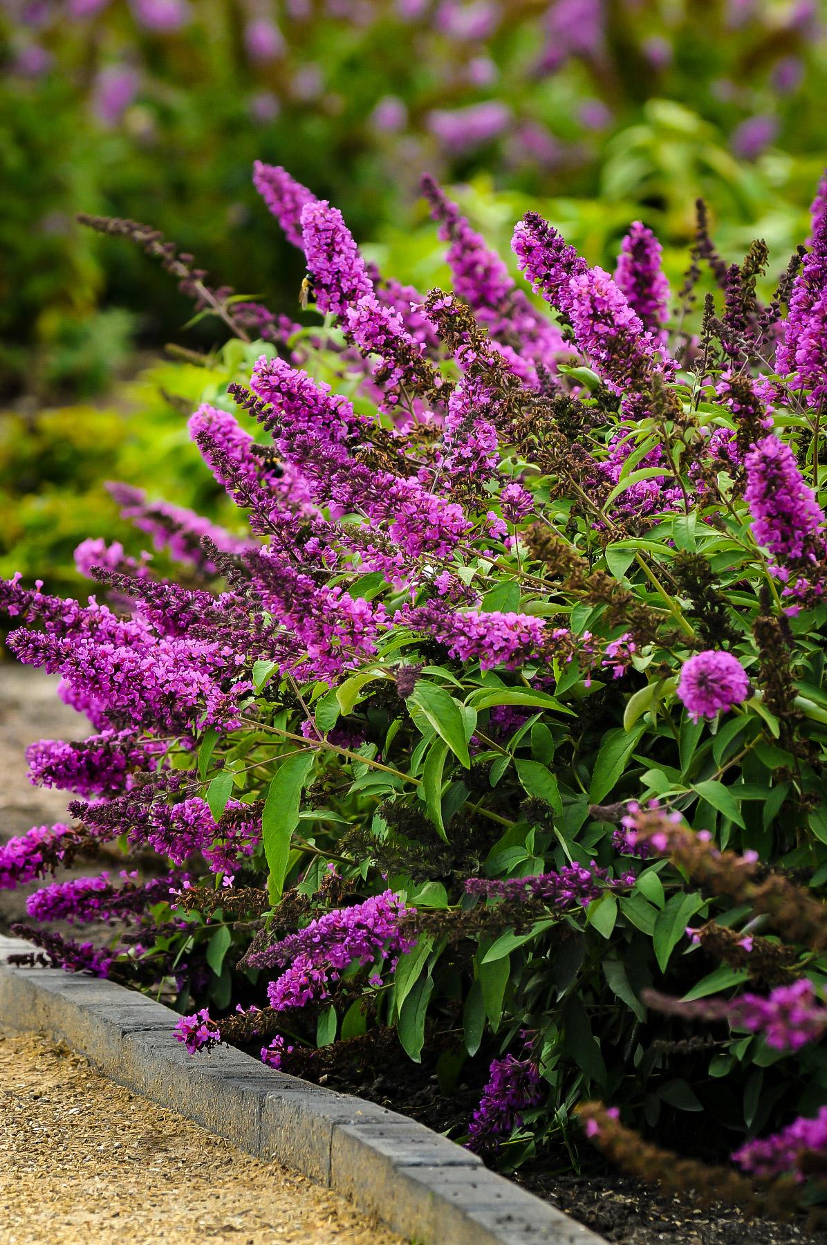 Flutterby Petite Tutti Fruitti Pink Butterfly Bush The