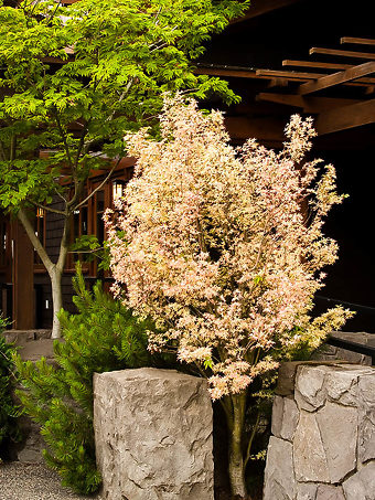 Butterfly Japanese Maple