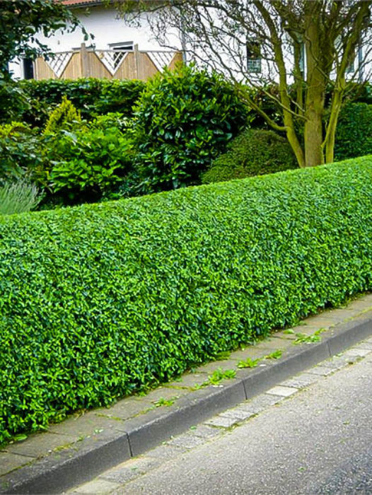 Privet Hedges